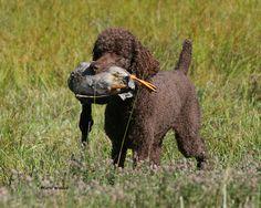 Brown poodle retrieving a duck.