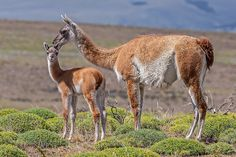 Mother Guanaco and Chulengo, Torres del Paine National Park, Chile