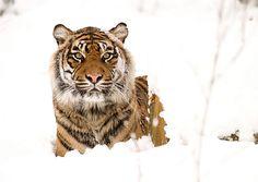 Tijger in de sneeuw | Flickr - Photo Sharing!