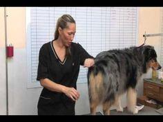 How to groom an Australian Shepherd - Part 2 - YouTube