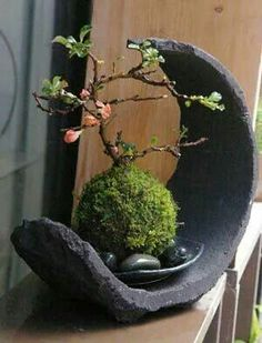 Japanese moss ball bonsai -Japanese flower arrangement (ikebana), which evolved… Ikebana, Bonsai Plants, Bonsai Garden, Garden Plants, Bonsai Trees, Succulents Garden, Potted Plants, Miniature Trees, Miniature Fairy Gardens