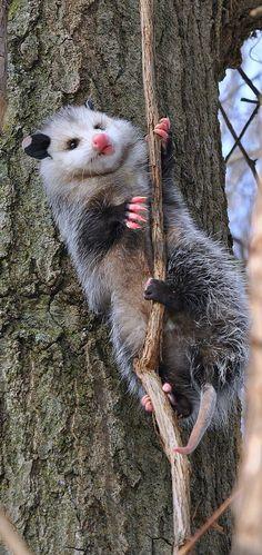 Opossum in a Tree by Mel Diotte #animals