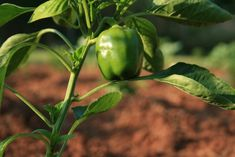 With a multitude colors and refreshing sweet flavor, bell peppers are great garden additions. Learn the basics to growing bell peppers in containers.