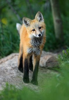 ~~Winter Park Fox | a fox comes out of its den near the town of Winter Park, Colorado | by Grant Ordelheide~~