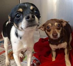 Meet Jalapeño and Fiesta, an adoptable Chihuahua looking for a forever home. If you're looking for a new pet to adopt or want information on how to get involved with adoptable pets, Petfinder.com is a great resource.
