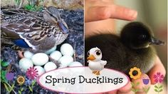 Ducklings hatch LIVE--the cutest video ever! #brooklynandbailey #video #youtube #ducklingshatch #spring #animals