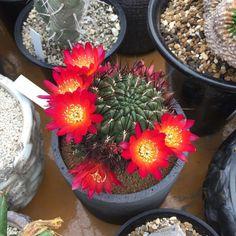 Copiapoa.  Chile Flora