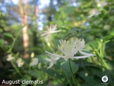 clematis august 13