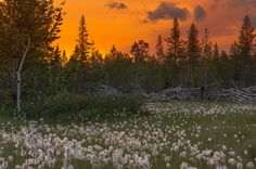 https://flic.kr/p/AP3dkB | fenced cotton grass | feel free to share- check my gallery for some more captures! comments are most welcome!