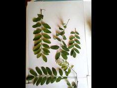 Sirop din flori de salcâm - YouTube Youtube, Plants, Plant, Youtubers, Youtube Movies, Planets