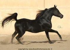 HAR SHAIKH EL ARAB (NK Ibn Leyl x Blue Badiah) 2005 black SE Stallion Saklawi Family