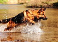 The German Shepherd Dog - German Shepherd Guide #germanshepherd