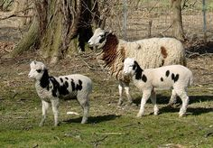 Jacob sheep, noted for their black or brown spots on white Sheep Farm, Sheep And Lamb, Farm Animals, Animals And Pets, Cute Animals, Jacob Sheep, Musk Ox, Counting Sheep, Goat Farming