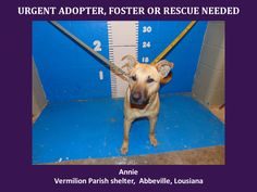 ***SUPER URGENT!!!*** - PLEASE SAVE ANNIE!! - EU DATE: 3/1/2015 -- Annie Breed:Anatolian Shepherd (mix breed) Age: Young adult Gender: Female Size: Large Location: Kaplan, LA  Read more at http://www.dogsindanger.com/dog/1425319103945#EKeVmVP1Ls2uk5XR.99 - If you have any questions please contact us at animalaidvermilion@gmail.com or (337) 366-0212 or visit our website animalaidvermilionarea.com for more information