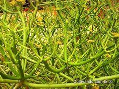 Avelós | Plantas Medicinais - Cultivando.com.br