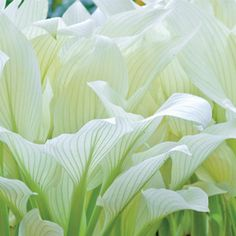"Filigree Hosta - intended for the shade.  Color fades to creamy pale yellow or light green.  20"" stems with small delicate purple flowers"