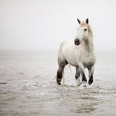 Horse Photography - White Horse in Water, Simple Minimal Nature Photograph, Wall Decor 8x8 - A Heart So White by EyePoetryPhotography on Etsy