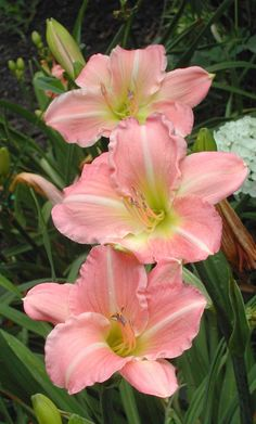 Daylily 'Pink Attraction' ~~ For more:  - ✯ http://www.pinterest.com/PinFantasy/flora-~-flores-flowers/