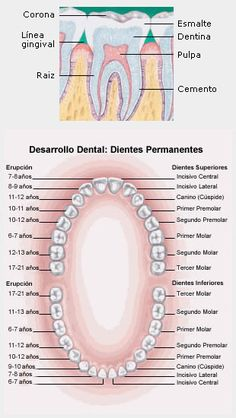 ¿Cuáles son los diferentes tipos de dientes? Incisivos: dientes anteriores con bordes afilados en forma de cincel (cuatro superiores y cuatro inferiores), utilizados para cortar los alimentos. Caninos: dientes con forma puntiaguda (de cúspide) que se utilizan para desgarrar los alimentos. Premolares: estos dientes tienen dos cúspides puntiagudas en su superficie de masticación. A veces son denominados bicúspides. La función de los premolares es aplastar y desgarrar.