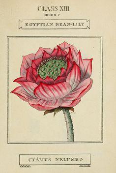 vintage botanical art