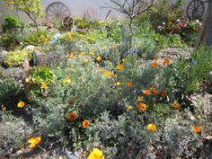 drought tolerant plants california   ... in California native wildflowers, succulents, natives and fruit trees