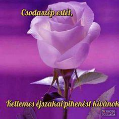 Good Morning, Rose, Flowers, Plants, Garden, Pink, Garten, Bonjour, Roses