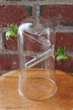 Dome Glass Rooter Vase