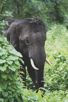 elephant in the wild Asian Elephant, Elephant Love, Elephant Parade, Beautiful Creatures, Animals Beautiful, Elephas Maximus, Baby Animals, Cute Animals, Gentle Giant