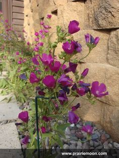 "Callirhoe triangulata (Clustered Poppy Mallow)full sun part shade medium dry-dry, 12""pink purple, july-sept."
