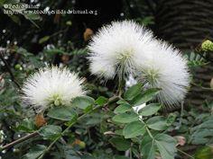 Calliandra haematocephala, | Calliandra haematocephala 'Alba' 1/2