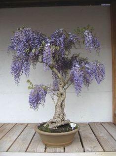 ♥֍I just love this beautiful #bonsai tree.♥● #BonsaiInspiration
