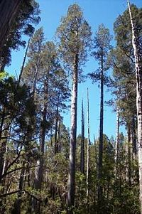 Fitzroya - Wikipedia, the free encyclopedia. An ancient Cyprus Tree which grows in Chile