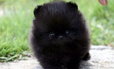 Black pomeranian puppy adorable!!!!!