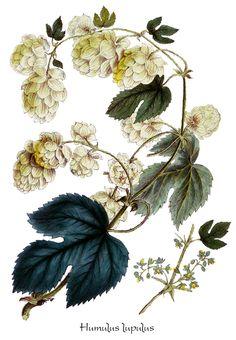 hop flower illustration