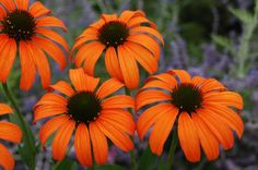 Perennials - Cone Flowers - low maintenance