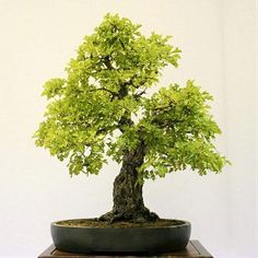 26th Redwood Empire Bonsai Society Show ⠀ Hawthorn / Thornapple (Crataegus)