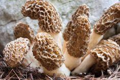 how to grow morel mushrooms 001 Growing Morel Mushrooms, Garden Mushrooms, Edible Mushrooms, Wild Mushrooms, Stuffed Mushrooms, Mushroom Spores, Mushroom Cultivation, Mushroom Seeds, Moral Mushrooms