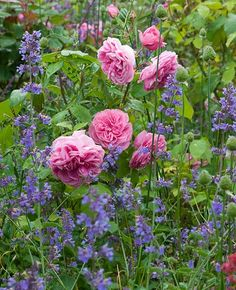Perennial Combinations Plant Combinations Summer Borders Planting Roses Rose Gardening Designing with Roses English Roses Rose Gertrude Jekyll Nepeta Six Hills Giant Rosa Gertrude Jekyll Pink English Roses Rose Companion Plants, Companion Planting, Rose Garden Design, Cottage Garden Design, Cottage Gardens, Garden Care, Diy Rose, Style Anglais, Gardens