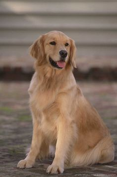 What cute animal! Reminds me of the Golden Retriver from the movies Homeward Bound and Homeward Bound 2.
