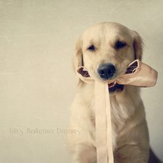 ViVi's Ballerina Dreams: A Baby Ballerina by VeryViVi.  Golden Retriever with pointe shoe.