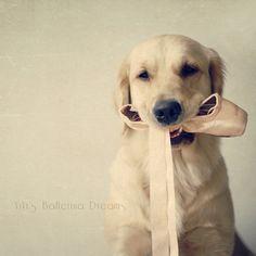 ViVi's Ballerina Dreams: A Baby Ballerina by VeryViVi. Golden Retriever with pointe shoe.