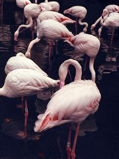 Pink flamingos posed in a black lake
