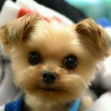What a cutie?!?! #puppies #dogs ... those eyes are everything ...