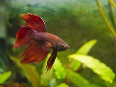 common betta fish diseases