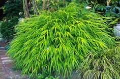 Always wanted a bamboo grove but don't have the real estate? Plant one in miniature with Japanese forest grass (Hakonechloa macra).