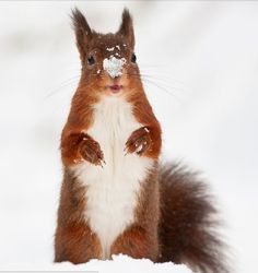 A squirrel standing in the snow with a bunch of snowflakes sitting on its nose.