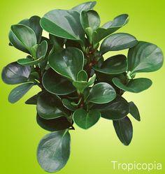 PEPEROMIA OBTUSIFOLIA BABY RUBBER TREE PLANT Thick, green, rubbery peperomia Plant, green, rubbery leaves.