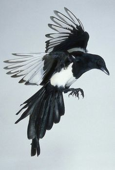 Thieving Magpie Tattoo I like the idea of having a tattoo of a magpie in this position. but from bird's eye view. Magpie Tattoo, Bird Tattoo Meaning, Tattoos With Meaning, Vogel Illustration, Pie Bavarde, One For Sorrow, Black Bird Tattoo, Tattoo Bird, Tattoo Designs