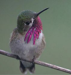 Calliope Hummingbird Stellula calliope Rare One published record, one banding record, one photo record Pretty Birds, Love Birds, Beautiful Birds, Animals Beautiful, Cute Animals, Small Birds, Tiny Bird, Little Birds, Colorful Birds