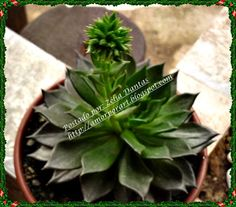 planta suculenta echeveria black prince